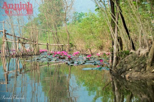 Loài hoa này thường nở rực rỡ vào buối sáng và khép cánh lại vào gần trưa... những cánh hoa khoe sắc tạo nên nét đẹp riêng chỉ có vào mùa thu trên dòng suối Yến.