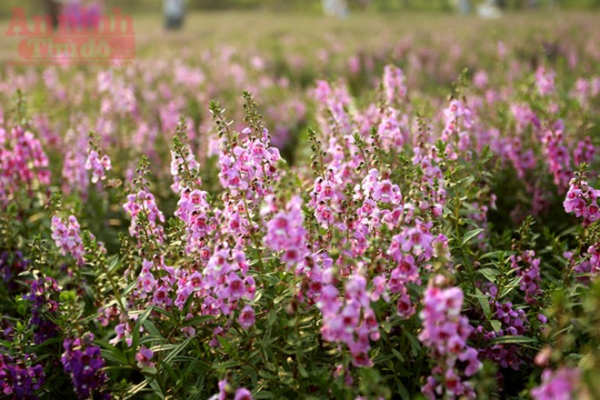 Nơi đây là thiên đường của rất nhiều loài hoa như: cúc hoạ mi, hồng tố nữ, hoa súng tím, hoa thạch thảo.