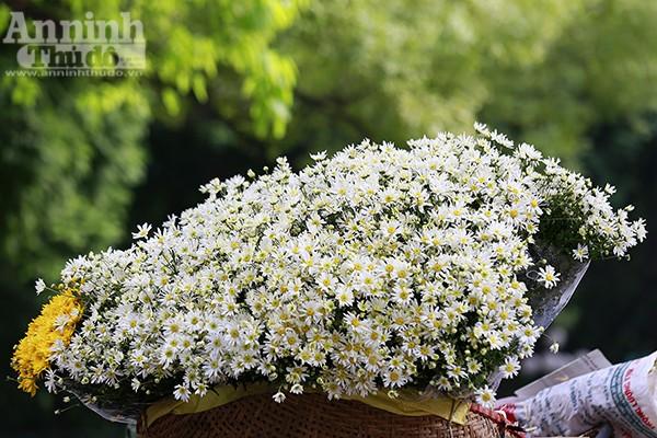 Những người yêu hoa nói rằng, cúc họa mi sẽ không trở thành hiện tượng nếu không xuất hiện đúng thời điểm chớm đông, đón những những cơn gió lạnh đầu mùa.