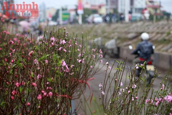 Còn hơn một tháng nữa mới đến tết Nguyên Đán Đinh Dậu, thế nhưng những ngày này tại chợ hoa Quảng Bá đào đã được bày bán...