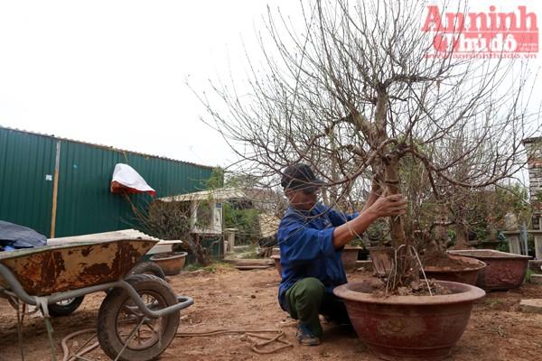 Những cây đào thế, cổ thụ cũng được đánh từ vườn về để cho vào chậu. Thế nhưng cũng chỉ trơ trọi cành...