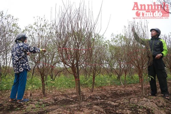 ...và đây là đợt tỉa lá thứ 2 để kích nụ. Những cây đào cứ liên tục nảy lộc mà không hề có nụ hoa?