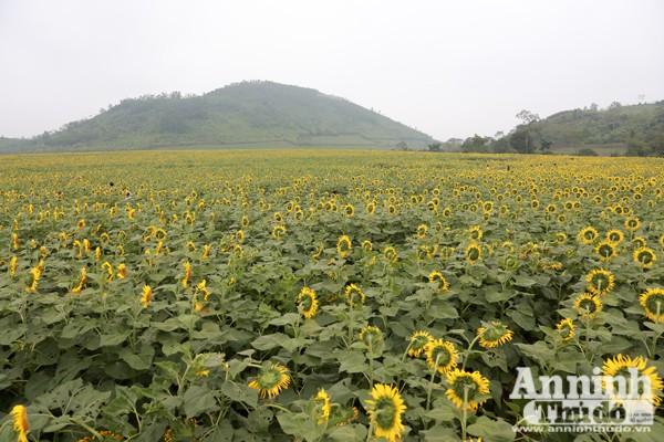Đẹp ngỡ ngàng cánh đồng hoa hướng dương ở Nghệ An ảnh 2