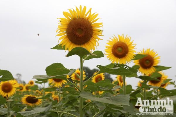 Đẹp ngỡ ngàng cánh đồng hoa hướng dương ở Nghệ An ảnh 3