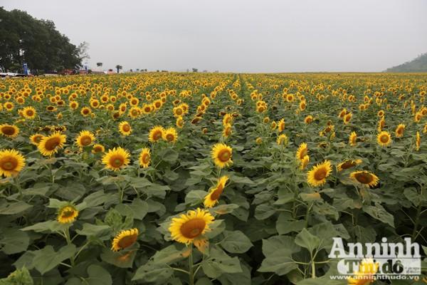 Đẹp ngỡ ngàng cánh đồng hoa hướng dương ở Nghệ An ảnh 6