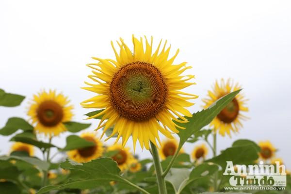 Đẹp ngỡ ngàng cánh đồng hoa hướng dương ở Nghệ An ảnh 7