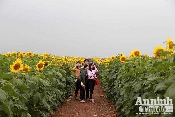 Đẹp ngỡ ngàng cánh đồng hoa hướng dương ở Nghệ An ảnh 8