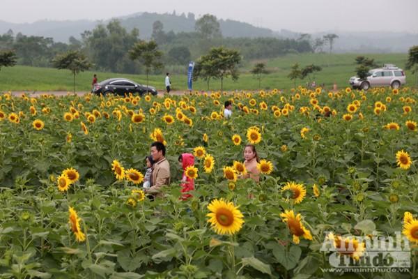 Đẹp ngỡ ngàng cánh đồng hoa hướng dương ở Nghệ An ảnh 4