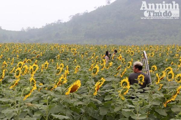 Đẹp ngỡ ngàng cánh đồng hoa hướng dương ở Nghệ An ảnh 5