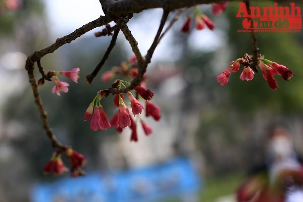 Ngoài 150 cây hoa anh đào, có thêm 7.000 cành anh đào sẽ được trưng bày tại Lễ hội giao lưu văn hóa Nhật Bản. Số cành này được vận chuyển bằng đường hàng không về Hà Nội.