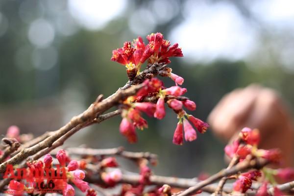 Lễ hội giao lưu văn hóa Nhật Bản sẽ được khai mạc lúc 20h ngày 10-3 tại Vườn hoa Tượng đài Lý Thái Tổ, với các chương trình nghệ thuật đặc sắc của hai nước.