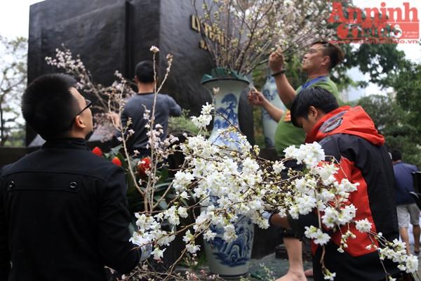 Thời tiết Hà Nội thời điểm này khá thuận lợi cho hoa Anh đào khoe sắc.