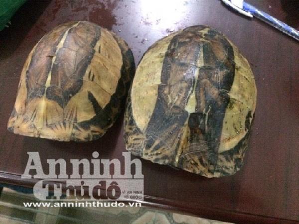 Đây là loại rùa hộp rán vàng miền bắc (nhóm Ib) nhóm cấm khai thác sử dụng vì mục đích thương mại vi phạm điều 190 Bộ luật Hình sự.