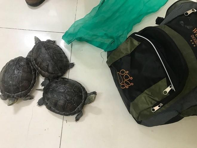 Ba cá thể rùa được vận chuyển từ Phú Yên ra Hà Nội