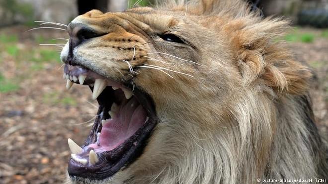 Malor, sư tử châu Phi, cư dân của vườn thú Eifel