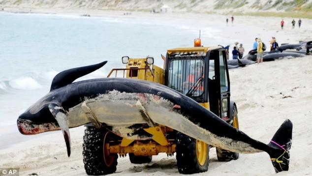 Nhật Bản sẽ tiếp tục đánh bắt cá voi vì mục đích thương mại, phớt lờ lệnh cấm quốc tế