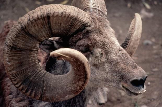 Cừu argali, loài động vật quý hiếm có nguy cơ tuyệt chủng của Mông Cổ