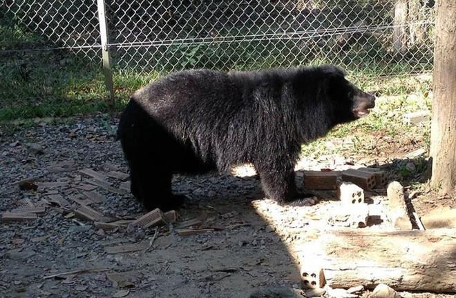 Một cá thể gấu ngựa tại Trạm cứu hộ VQG Cát Tiên