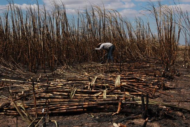 Người dân thu hoạch diện tích mía bị cháy