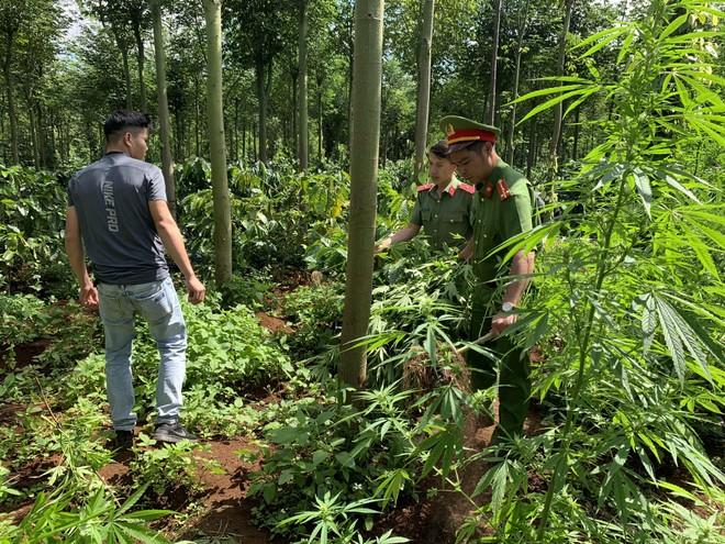 Cơ quan công an tiến hành nhổ bỏ số cần sa được trồng trong rẫy cà phê.