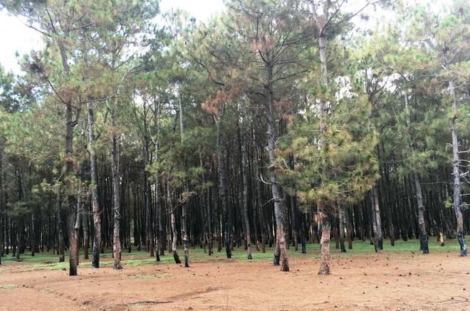 Rừng thông bị xâm hại tại huyện Đăk Đoa