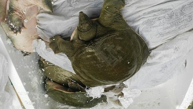 Ba ba, cá chình Trung Quốc chuẩn bị được đưa đến nơi tiêu thụ
