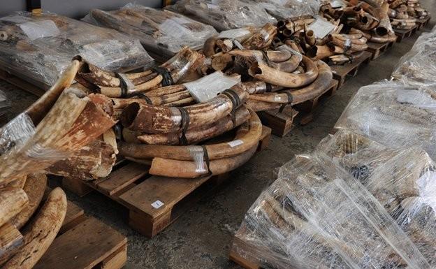 Nạn săn bắn voi để lấy ngà tăng lên đáng kể trong năm 2013