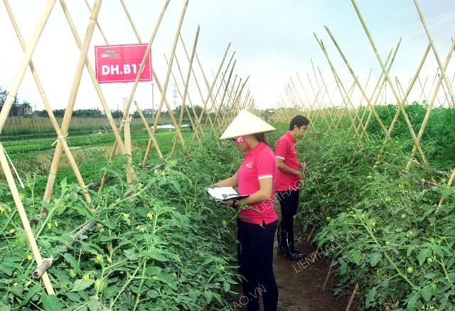 Các kỹ sư trực tiếp hướng dẫn người nông dân sản xuất rau sạch.