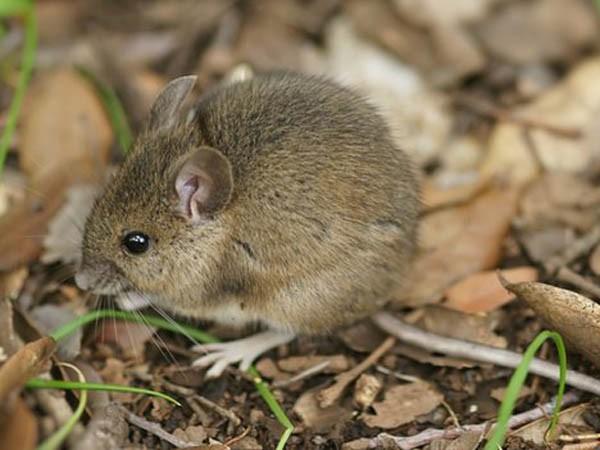 Những người đàn ông giải thích việc thả hàng trăm con chuột vào làng là hành động chuộc lỗi