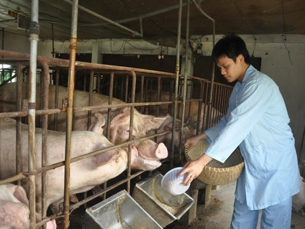 Anh Nguyễn Quý Hào và trang trại lợn của mình