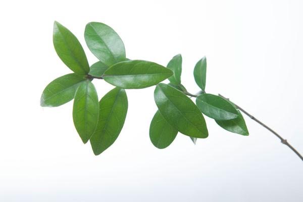 3 loài cây quý giúp phòng ngừa biến chứng tiểu đường không phải ai cũng biết ảnh 2