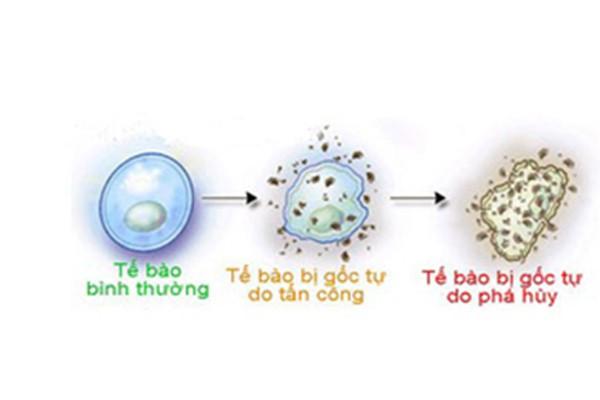Gốc tự do gây hại cho tế bào