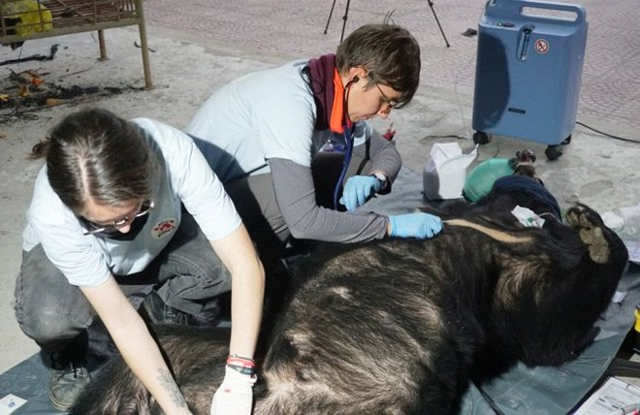 Con gấu ngựa được các bác sĩ thú ý chăm sóc sau khi giải cứu