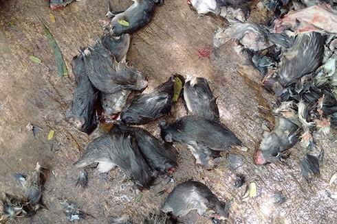 Chuột sống ở các cống rãnh tiềm ẩn nhiều mầm bệnh (Ảnh minh họa)