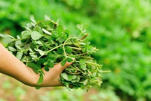"""Cây sam được mệnh danh là rau """"nông dân"""" vì rất dễ sống, mọc đầy ở trong vườn, ven đường, bờ ruộng và cả những nơi khô cằn nhất"""
