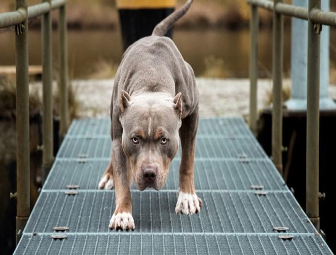 Chó Pitbull có thể trạng to lớn, cắn chết một đứa trẻ 9 tuổi là điều dễ dàng đối với nó