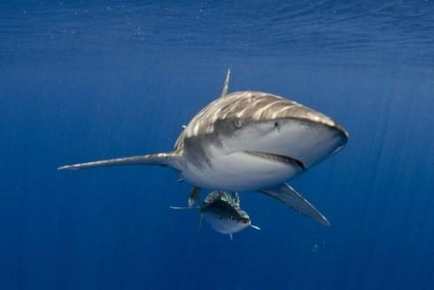 Cá mập trắng - hung thần của biển cả