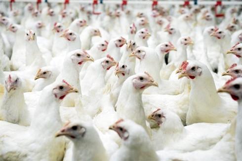 Thịt gà tăng giá cao dịp gần Tết