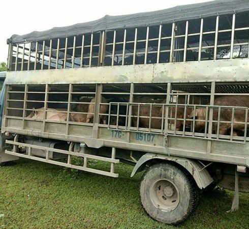 Tình trạng nhập lậu lợn sống và thịt lợn đang ngày một gia tăng