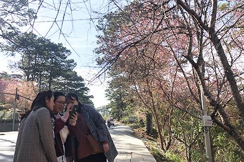 Các bạn trẻ vui vẻ chụp hình bên hoa mai anh đào Đà Lạt