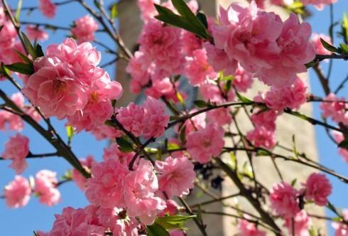 Hoa Đào là loài hoa truyền thống và không thể thiếu trong mỗi dịp Tết đến xuân về