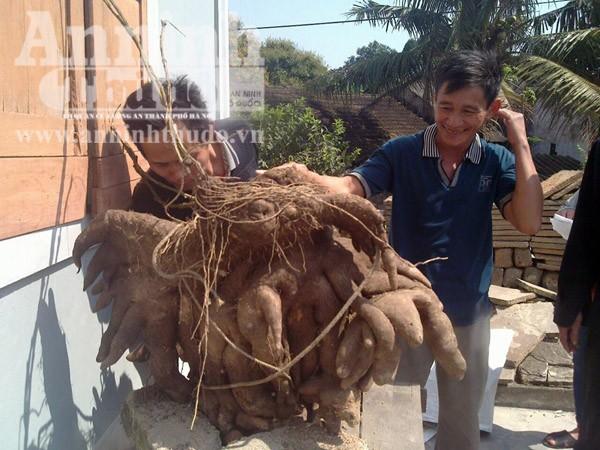 Phát hiện củ khoai vạc nặng 50kg ảnh 2
