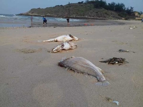 Cá chết hàng loạt dạt vào dọc bờ biển miền Trung hồi tháng 4 vừa qua