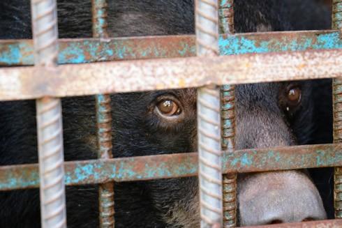 """Gấu tại các trang trại thường bị """"hói"""" do buồn chán, và thường cọ sát vào các thanh sắt"""