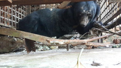 Sàn lồng ở trại gấu thứ hai gần như sắp rơi xuống, và để hở một lỗ hổng rất lớn