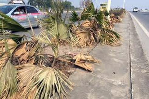 Lãng phí cây cảnh chết khô ở dải phân cách