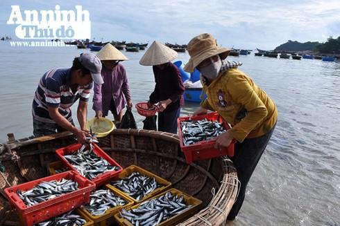 Nhiều ngư dân xã Bình Hải, Bình Sơn (Quảng Ngãi) trúng đậm cá nục trong những ngày ra khơi đầu Xuân Đinh Dậu 2017