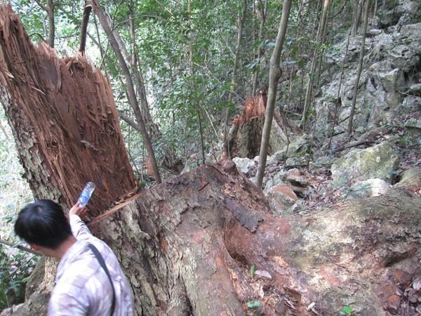 """Thớt nghiến """"băm nát"""" rừng Phong Quang ảnh 1"""