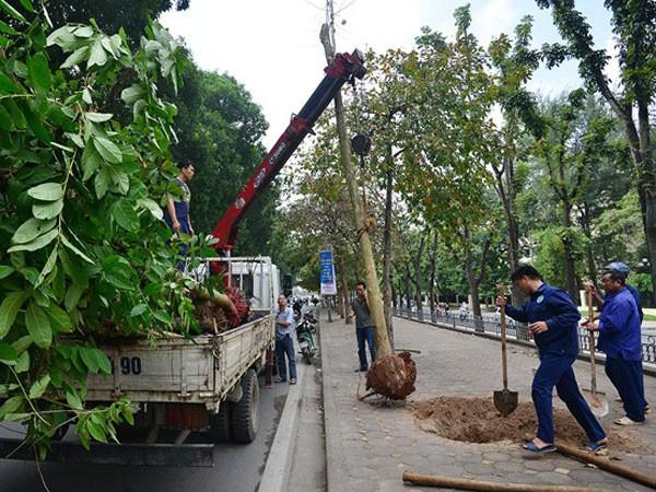 Người dân Thủ đô đồng thuận với việc thay thế cây xanh ảnh 1