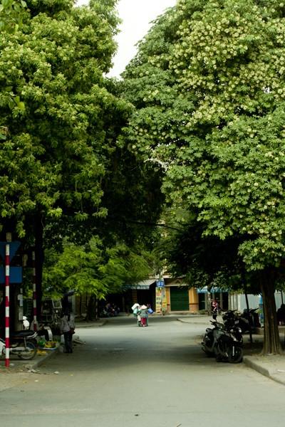 Ngắm những góc phố Hà Nội tràn ngập hoa sữa ảnh 3